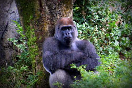On the Pangani Forest Exploration Trail ®, Kerchak strikes a defiant pose.   What do you suppose he's thinking?